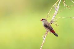 Oiseau rouge d'Avadavet [amandava d'Amandava] Photographie stock libre de droits