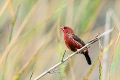 Oiseau rouge d'Avadavet [amandava d'Amandava] Photos libres de droits