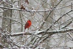 Oiseau rouge dans la neige Photos stock