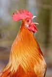 Oiseau rouge de coq en plan rapproché Image libre de droits