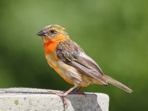 Oiseau rouge de Fody Images stock