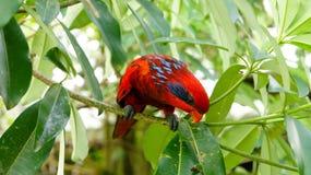 Oiseau rouge de Lory Photographie stock