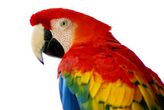 Oiseau rouge de Macaw d'isolement photo stock