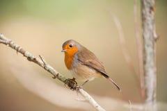 Oiseau rouge de merle sur une branche Image libre de droits