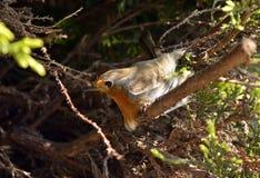 Oiseau rouge de sein de Robin Image libre de droits