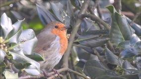 Oiseau rouge de sein de merle britannique chantant dans les oiseaux de moineau de dessus d'arbre banque de vidéos