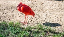 Oiseau rouge exotique dans la jungle de zoo photo stock