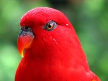 Oiseau rouge humide après la pluie Images libres de droits