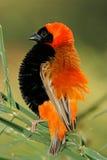 Oiseau rouge mâle d'évêque Images stock