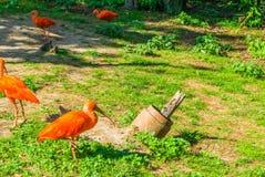 Oiseau rouge vibrant d'IBIS d'écarlate dans une scène de paysage de parc d'herbe photos stock