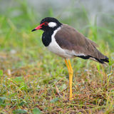 Oiseau rouge-wattled de vanneau Images libres de droits