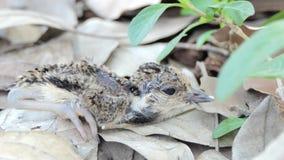 Oiseau rouge-wattled de vanneau de poussin clips vidéos