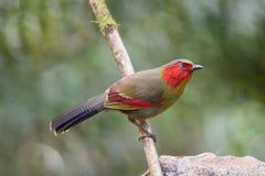 Oiseau rougeaud, Liocichla au visage d'écarlate Photos stock