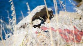 Oiseau sauvage d'Australie de hochequeue de Willie dans le plumage noir et blanc étant perché sur la roche dans un jardin image stock