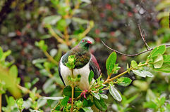 Oiseau sauvage dans l'habitat de forêt Photographie stock libre de droits