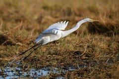 Oiseau sauvage de la vie de l'Afrique dans le décollage photographie stock