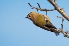 Oiseau sauvage de regulus de Goldcrest Regulus dans un habitat naturel photographie stock libre de droits