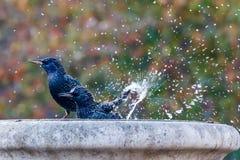 Oiseau se baignant et éclaboussant Images libres de droits