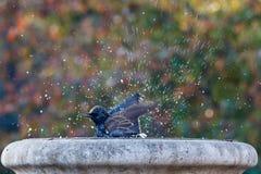 Oiseau se baignant et éclaboussant Photo stock