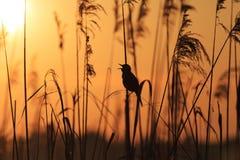 Oiseau se reposant dans les roseaux chantant la chanson Image libre de droits