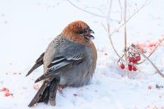 Oiseau se reposant sur la neige Image libre de droits