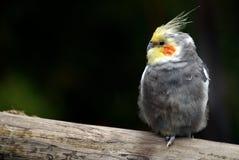 Oiseau seul de Cockatiel sur un branchement d'arbre Image libre de droits