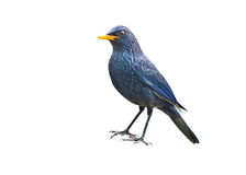 Oiseau (Siffler-grive bleue) d'isolement sur le fond blanc photographie stock