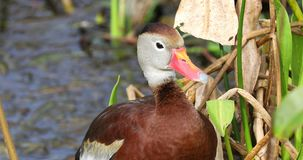 oiseau siffleur Noir-gonflé de canard florida LES Etats-Unis banque de vidéos