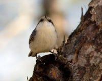 Oiseau Snobby image libre de droits