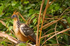 oiseau stinky Images stock