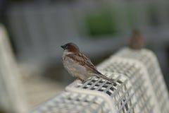 Oiseau suisse typique se reposant sur un banc métallique dans Vevey Suisse photos libres de droits