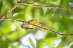 Oiseau (sunbird Brown-throated) dans une nature sauvage Photographie stock
