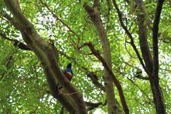Oiseau superbe de l'Afrique d'étourneau photo stock