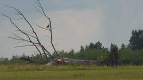 Oiseau sur l'arbre tombé sec banque de vidéos