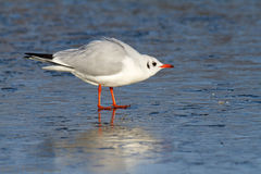 Oiseau sur l'eau congelée photo stock