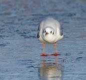 Oiseau sur l'eau congelée images libres de droits