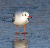 Oiseau sur l'eau congelée image stock