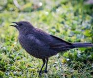 Oiseau sur l'herbe Photographie stock