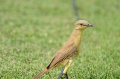 Oiseau sur l'herbe Images stock