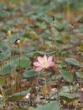 Oiseau sur la fleur sacrée de Lotus Pink de Nelumbo supérieur de branche dans le boraphet de bondon d'étang photos stock