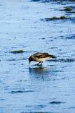 Oiseau sur la glace Photographie stock
