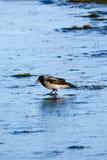 Oiseau sur la glace Photographie stock libre de droits