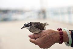 Oiseau sur la main de dame âgée. Image stock