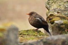 Oiseau sur la pierre Désambiguisation de moineau de détail Image libre de droits
