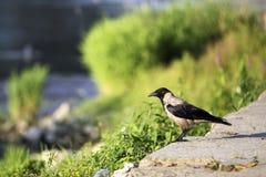 Oiseau sur la rive de Tiber, Rome Photo libre de droits