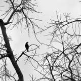 Oiseau sur la silhouette de branche d'arbre sans congé Photographie stock libre de droits