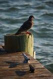 Oiseau sur la surveillance des intempéries Photos libres de droits