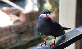 Oiseau sur le balcon Photos libres de droits