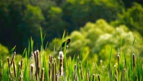 Oiseau sur le point Reyes California de roseaux clips vidéos