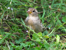 Oiseau sur le pré Image libre de droits
